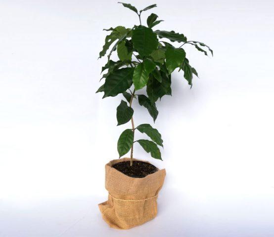 planta-café